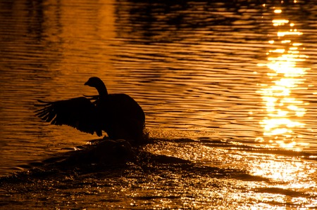 Telephoto shot of a backlit goose landing on water, in the golden light of sunset.