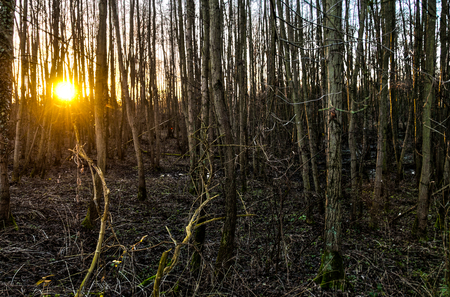 The setting sun is peaking through a forest in east flanders.