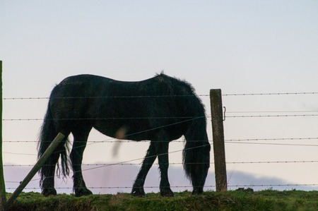 A silhoutte of a horse behind a barbed wire fence, somewhere in the east flemish country side. 版權商用圖片