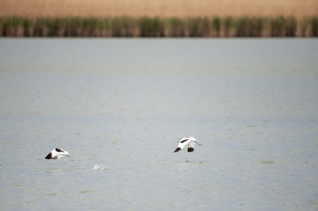 Two pied avocet - Recurvirostra avosetta- taking off from a lake in the Dutch Nature reserve Oostvaardersplassen Stock Photo