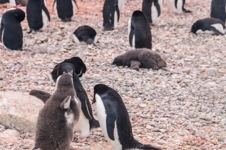 An Adelie Penguin - Pygoscelis adeliae - couple, feeding their chick, in a behavioral pattern, known as a feeding frenzy. Paulet Island, Antarctica.