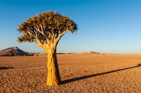 A single tree standing in the Desert in Cha-re, in the Khomas region of Namibia. The setting sun is casting long shadows