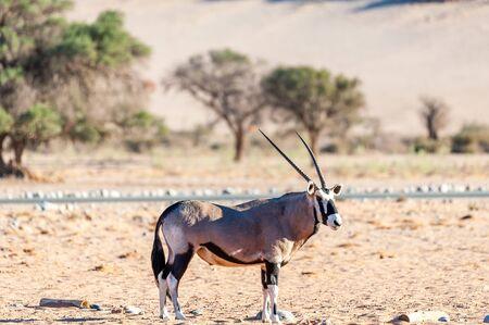 An Oryx - Oryx gazella- grazing in the Namibian desert near the Sesriem campsite. Reklamní fotografie