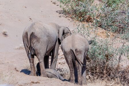 Two adult Desert Elephants -Loxodonta Africana- and one calf, browsing along the Honaib River in North-Western Namibia.