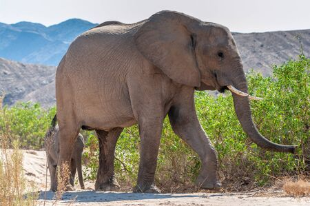 One adult Desert Elephant -Loxodonta Africana- with its calf, browsing along the Honaib River in North-Western Namibia. Imagens