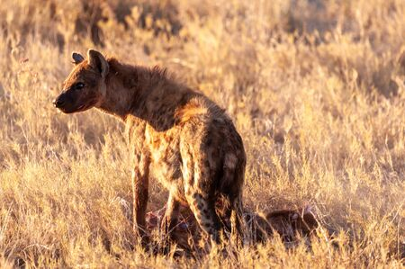 Closeup of a spotted hyena -Crocuta crocuta- carrying around, and eating from an Atelope, just before sunset. Etosha National Park, Namibia.