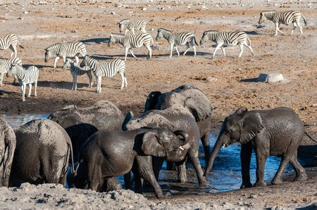 A herd of African Elephants -Loxodonta Africana- Drinking from, and bathing, in the Chudop Waterhole in Etosha National Park, Namibia. Imagens