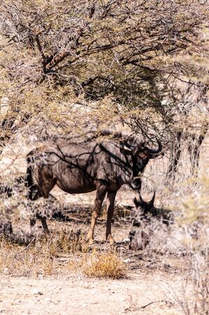 Close-up of a Blue Wildebeest, or Gnu - Connochaetes taurinus- seeking shelter from the midday sun under a tree in Etosha National Park, Northern Namibia. Stockfoto