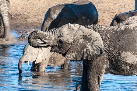 A herd of African Elephants -Loxodonta Africana- Drinking from, and bathing, in the Chudop Waterhole in Etosha National Park, Namibia. Imagens - 128660170