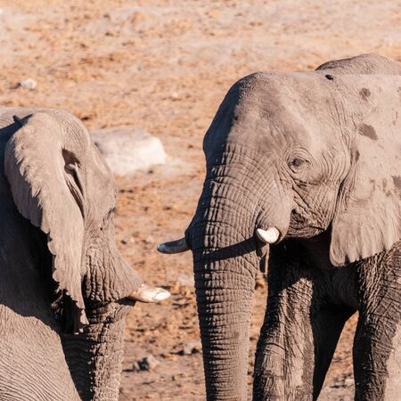 Two male African Elephants -Loxodonta Africana- challenging each other at the Chudop Waterhole in Etosha National Park, Namibia. Imagens