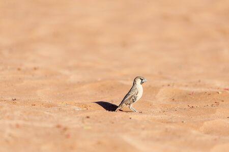 A sociable weaver bird - Philetairus socius- walking in the red sand of the Namibian Desert, near Sesriem. Stock Photo