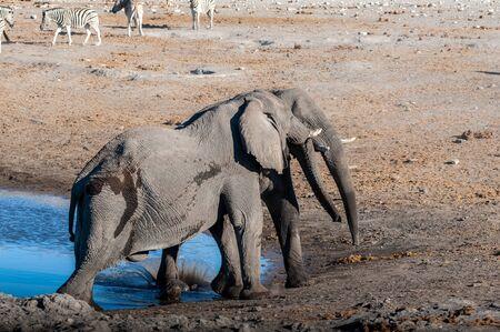 Zwei männliche afrikanische Elefanten - Loxodonta Africana - fordern sich in der Nähe einer Wasserstelle im Etosha-Nationalpark, Namibia heraus?