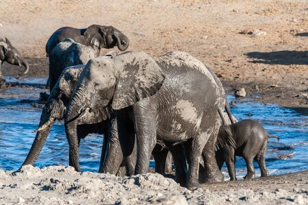 A herd of African Elephants -Loxodonta Africana- bathing in a waterhole in Etosha National Park, Namibia. Imagens