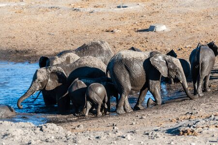 A herd of African Elephants -Loxodonta Africana- bathing in a waterhole in Etosha National Park, Namibia. Imagens - 129719682