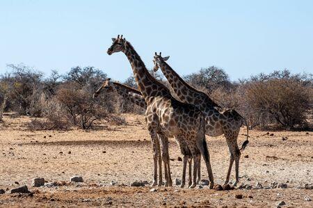 Tree Angolan Giraffes - Giraffa giraffa angolensis standing near a waterhole in Etosha national park, Namibia. Imagens - 129719808