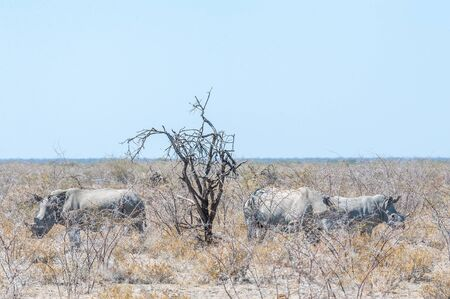 Part of a white Rhinoceros - Ceratotherium simum- family standing next to a tree on the plains of Etosha National Park, Namibia.