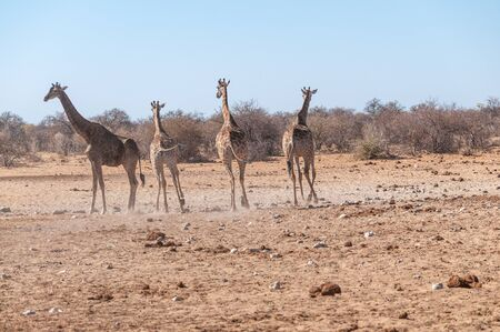 Four Angolan Giraffes - Giraffa giraffa angolensis walking nervously around a waterhole in Etosha national park, Namibia. Imagens