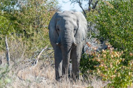 Close up of an African Elephant -Loxodonta Africana- browsing in the green bushes of Etosha national Park, Namibia.