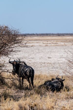 Two Blue Wildebeest -Connochaetes taurinus- also known as Gnus, hanging out on the edge of the salt pans of Etosha National Park, Namibia. Imagens