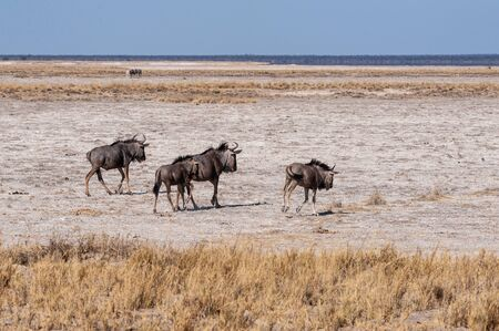 A herd of Blue Wildebeest -Connochaetes taurinus- also known as Gnus, heading out onto the salt pans of Etosha National Park, Namibia. Imagens