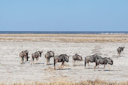 A herd of Blue Wildebeest -Connochaetes taurinus- also known as Gnus, heading out onto the salt pans of Etosha National Park, Namibia. Imagens - 129719821