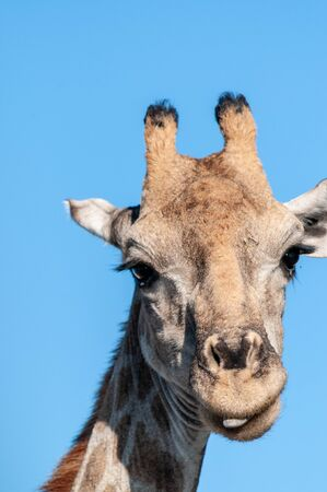An extreme closeup of an Angolan Giraffe - Giraffa giraffa angolensis- head. Etosha National Park, Namibia. Imagens - 129719825
