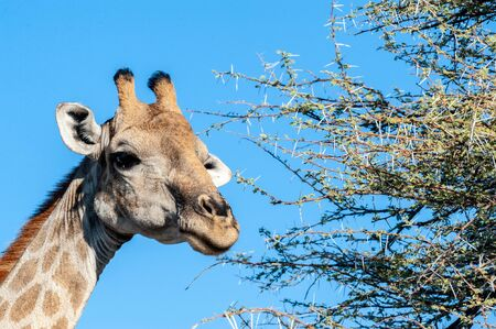 An extreme closeup of an Angolan Giraffe - Giraffa giraffa angolensis- head. Etosha National Park, Namibia. Imagens - 129719826