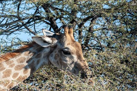 Detail of the head of an Angolan Giraffe -Giraffa giraffa angolensis- eating scrubs from the bushes. Etosha National Park, Namibia. Imagens