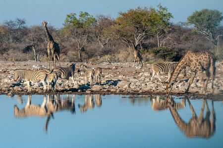 A group of Angolan Giraffe - Giraffa giraffa angolensis- and Burchells zebra -Equus quagga burchellii- drinking from a waterhole, while being reflected in the surface of the water. Etosha, Namibia. Imagens