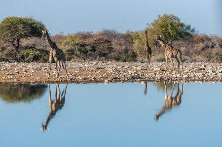 A group of Angolan Giraffe - Giraffa giraffa angolensis- drinking from a waterhole, while being reflected in the surface of the water. Etosha National Park, Namibia.