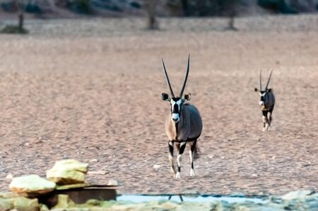 Two Orynx are reluctantly approaching a waterhole, near the Cha-re Campsite in the Khomas Region of Namibia. Imagens