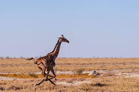 A galloping Giraffe - Giraffa Camelopardalis- on the plains of Etosha National Park, Namibia. Imagens