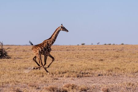 A galloping Giraffe - Giraffa Camelopardalis- on the plains of Etosha National Park, Namibia. Фото со стока