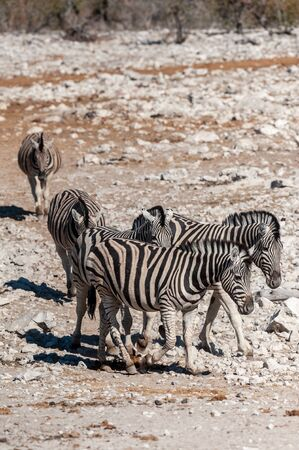 A group of Burchells Plains zebra -Equus quagga burchelli- standing close to each other on the plains of Etosha National Park, Namibia.