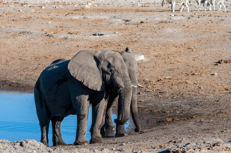 Two Male African Elephants -Loxodonta Africana- standing next to each other near a waterhole. Etosha National Park, Namibia.