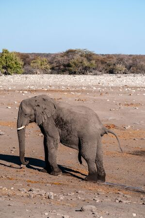 One big male African Elephant -Loxodonta Africana- standing next to a waterhole in Etosha National Park. Imagens