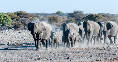 A herd of African Elephant -Loxodonta Africana- is running towards a waterhole in Etosha national Park, Namibia, for drinking and taking a bath. Imagens