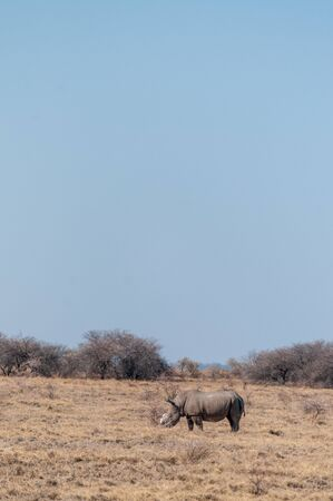 A solitary dehorned Black Rhinoceros - Diceros bicornis occidentalis- grazing in Etosha National Park, Namibia. Black Rhinos are critically endangered due to poaching. Their horn is removed in order to stop the poachers from killing the animal. Stock Photo