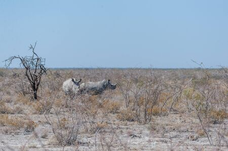 Two out of a group of four white Rhinoceros -Ceratotherium simum- standing on a barren plain in Etosha National Park, Namibia.