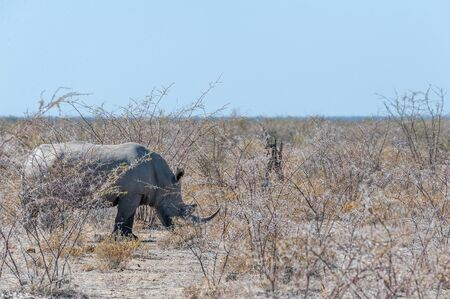 One out of a group of four white Rhinoceros -Ceratotherium simum- standing on a barren plain in Etosha National Park, Namibia.
