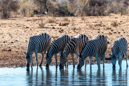 A group of Burchells Plains zebra -Equus quagga burchelli- drinking from a waterhole in Etosha National Park, Namibia.