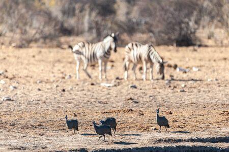 Four Helmeted Guineafowl -Numida meleagris- fouraging near a waterhole in Etosha National Park, Namibia. Seen here against a backdrop of Burchell Plains Zebras.