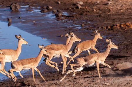 A group of Impalas -Aepyceros melampus- running nervously around a waterhole in Etosha National Park, Namibia. 写真素材