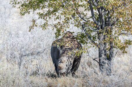 A black Rhinoceros - Diceros bicornis- eating scrubs on the plains of etosha national park, Namibia.