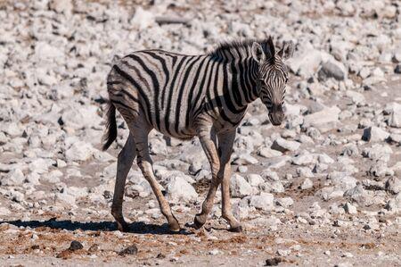 A Burchells Plains zebra -Equus quagga burchelli- standing on the plains of Etosha National Park, Namibia.