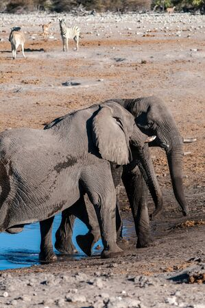Two male African Elephants -Loxodonta Africana- challenging each other near a waterhole in Etosha National Park, Namibia