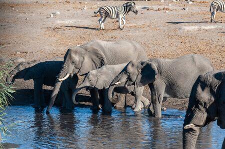A herd of African Elephants -Loxodonta Africana- bathing in a waterhole in Etosha National Park, Namibia. 写真素材