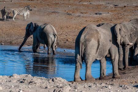 A herd of African Elephant -Loxodonta Africana- taking a bath in a waterhole in Etosha national Park. A group of Burchells Plains zebra -Equus quagga burchelli- is seen in the background. Reklamní fotografie