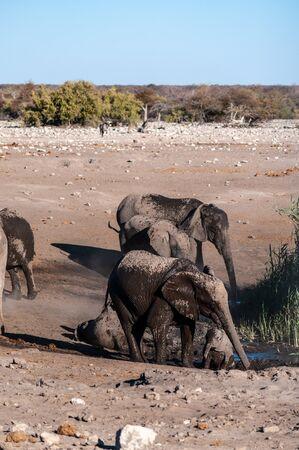 A family of African Elephants -Loxodonta Africana- walking around a waterhole. Etosha National Park, Namibia. Reklamní fotografie