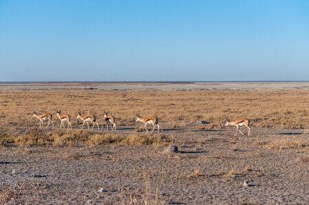 A group of Impalas - Aepyceros melampus- walking along a path in the plains of Etosha National Park, Namibia.